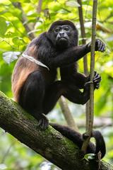 Howler Monkey (RosePerry1107) Tags: monkey howlermonkey wildlife wildlifephoto wildlifephotography wildlifelover naturephotography costarica osapeninsula nikon nikon500mmpf nikond500