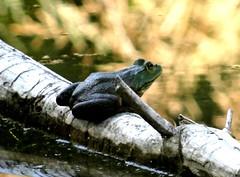 End of August frog (EcoSnake) Tags: americanbullfrog lithobatescatesbeiana frogs amphibians water wildlife august summer idahofishandgame naturecenter