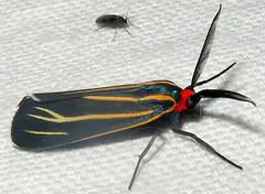 Veined Ctenucha, Ctenucha venosa, Madera Canyon, Santa Cruz County (Seth Ausubel) Tags: erebidae az arctiinae moth arctiini
