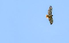 Red-tailed Hawk (ronking1) Tags: redtailedhawk12223 birds julian california unitedstatesofamerica