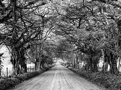 Under the tree canopy (RosePerry1107) Tags: costarica osapeninsula landscape tree dirtroad blackwhitephoto