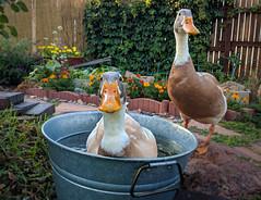 Rub a Dub Dub, one Duck in the Tub. (kdandilion) Tags: ducks indianrunnerducks indianrunners drakes