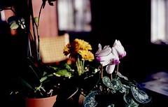 flowers (bluebird87) Tags: flowers nikon f100 dx0 c41 epson v600 kodak ektar