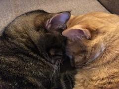 Quark and Sunspot (suegenerous) Tags: cat cats kitten kittens quark sunspot cut