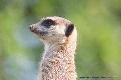 On The Lookout....... (law_keven) Tags: meerkats meerkat animals animal mammals wildlife london england londonzoo photography wildlifephotography animalphotography