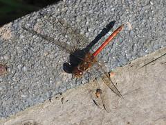 M2263035 E-M1ii 150mm iso200 f8 1_400s 0 (Mel Stephens) Tags: 20190826 201908 2019 q3 4x3 wide olympus mzuiko mft microfourthirds m43 40150mm omd em1ii ii mirrorless gps uk scotland angus crombie park animal animals nature wildlife fauna insect dragonfly