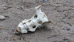dead (Stefan Giese) Tags: nikon d750 svalbard spitzbergen skelett bones knochen 24120mmf4 schädel amsterdamoya