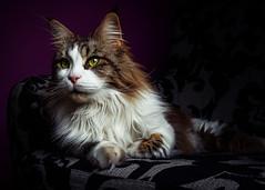 Swiffi I (patrick_illhardt) Tags: cat maine coon beauty flash laying portrait animal pet petphotography animalphotography