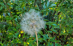 Closeup of Salsify seed pod (ronking1) Tags: salsifyorgoatsbeardtragopogondubius233 flowers julian california unitedstatesofamerica