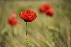 Sommer in Ostholstein (alterahorn) Tags: mohn poppy poppies ostholstein carlzeiss zeissloxia85mm zeisssonnar sonnar85mm sonya7iii adobelightroom naturfotografie loxia2485 e nature