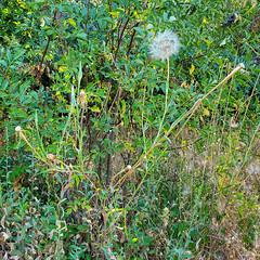 Salsify or Goat's Beard ( Tragopogon dubius -233) (ronking1) Tags: salsifyorgoatsbeardtragopogondubius233 flowers julian california unitedstatesofamerica