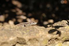 Wall Lizard (Podarcis muralis) - Abbotsbury. (ChristianMoss) Tags: wall lizard podarcis muralis abbotsbury reptile dorset