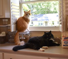Jimmy and Batman on the kitchen counter (rootcrop54) Tags: jimmy orange ginger tabby male cat batman longhaired tuxedo fluffy kitchen window counter catfoodcannister neko macska kedi 猫 kočka kissa γάτα köttur kucing gatto 고양이 kaķis katė katt katze katzen kot кошка mačka gatos kotek мачка maček kitteh chat ネコ