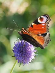 M2263280 E-M1ii 150mm iso800 f8 1_250s 0 (Mel Stephens) Tags: park uk scotland angus olympus ii tall crombie gps q3 omd 3x4 2019 m43 mft 40150mm mirrorless microfourthirds mzuiko 201908 em1ii 20190826 flowers plants plant flower nature animal animals fauna butterfly insect flora wildlife