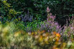 27082019-DSC_0071 (vidjanma) Tags: fleurs bokeh sousbois bruyère