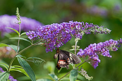 the Common mormon - Papilio polytes - Otters and Butterflies - Buckfastleigh, Devon - June 2019 (Dis da fi we) Tags: papilio polytes otters butterflies buckfastleigh devon common mormon