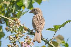 Sparrow with snack 502_0834.jpg (Mobile Lynn) Tags: sparrow birds sparrows nature bird fauna oscines passeri passeridae passeriformes songbird songbirds wildlife shinfield england unitedkingdom