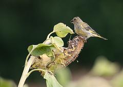 Harvest time for Greenfinch (hardy-gjK) Tags: bird vogel oiseau sonnenblume blume sunflower finch fink grünfink green wildlife animal tier hardy nikon