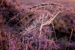 Trap (soundmoods) Tags: spin web purple trap spider morning heather field