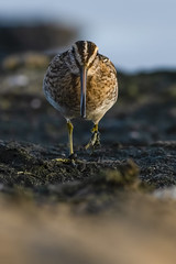 Snipe (madziulka_a) Tags: snipe poland nikon d850 nikkor 200500mm wildlife sea nature kszyk photography bird