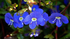 Dainty BLUE.....Looking close....on Friday (Lani Elliott) Tags: homegarden garden flower flowers blueflowers dainy tiny pretty floral parahebe oxfordsblue bright colour colourful bokeh macro upclose closeup macrounlimited blue lookingcloseonfriday