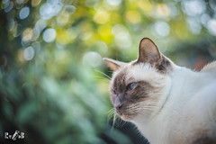 Mr. James (chocolate point traditional siamese) (Renate van den Boom) Tags: 08augustus 2019 camera canoneosr europa gelderland helios44m58mm20 jaar james katten lens maand nederland nijmegen renatevandenboom thuis tuin