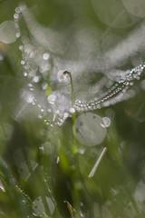 Perdue dans la toile (Argentic Raw) Tags: toile nature garden herbe macro petit little bokeh drop goutte