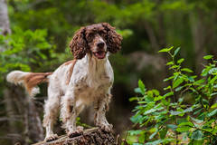 In wood (The Papa'razzi of dogs) Tags: wood zigzag spaniel pet nature dog cocker summer outdoor hund animal