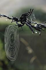 Fence web (phileveratt) Tags: fencefriday fencedfriday happyfencefriday hff barbedwire spiderweb