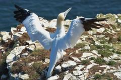 Little Pose (pcraynard) Tags: gannet gannets bempton cliffs rspb rspblovesnature birds ukbirds bigbirds sea briddlington nikon nikond500 sigma 150600