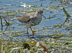 Spotted Sandpiper - Braddock Bay East Spit - © Rosemary Reilly - Aug 23, 2019