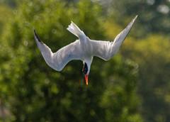 Caspian Tern - Hamlin Beach Park - © David Laiacona - Aug 24, 2019