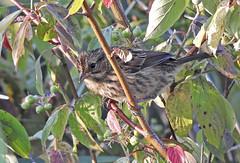 Swamp Sparrow - Braddock Bay Park - © Candace Giles - Aug 24, 2019