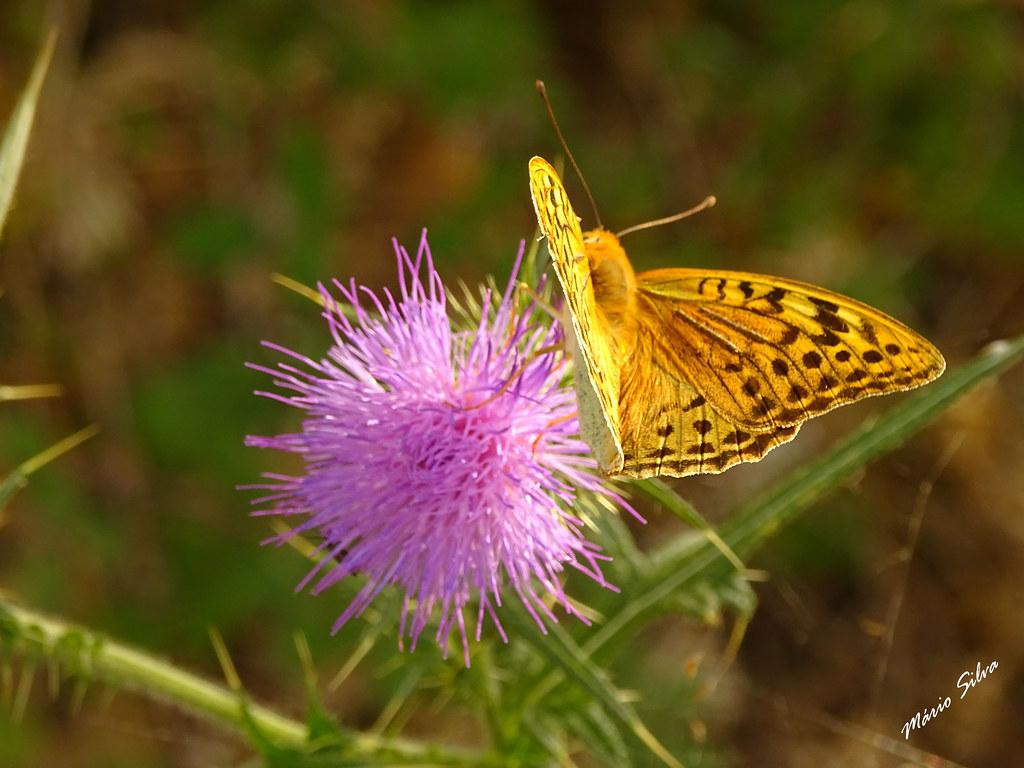 Águas Frias (Chaves) - ... borboleta pousada na flor de cardo ...