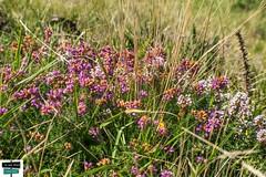 Bruyère (https://pays-basque.coline-buch.fr/) Tags: bruyère fleurs nature pays basque larrau pyrénéesatlantiques herbes 64 colinebuch montagne