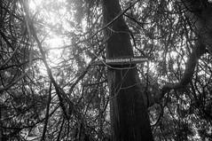 Abendländischer Lebensbaum (kuuan) Tags: voigtländerheliarf4515mm manualfocus mf voigtländer15mm aspherical f4515mm superwideheliar apsc tree lebensbaum thaja zypresse landscape mostviertel bw edlapark amstetten