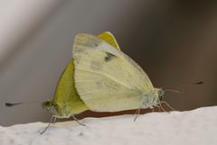 Schmetterlinge (in Paarung ?) (Bernd Götz) Tags: schmetterlinge
