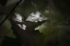 Le couloir des ombres ! (bulledenature62) Tags: araignée spider hautsdefrance reflex62 deniscoeurphotographe62 photographenature