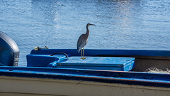 White Faced Heron going boating (Peter.Stokes) Tags: australia australian 2019 coast colour colourphotography holiday landscape landscapes nsw nature newsouthwales outdoors photography vacation vacations water sky photo boats