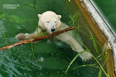 Eisbär Vera - Tiergarten Nürnberg (ElaNuernberg) Tags: eisbärvera tiergartennürnberg nurembergzoo zoo zooanimals zootiere eisbär polarbear ursusmaritimus ijsbeer isbjorn orsopolare jääkaru niedźwiedźpolarny ourspolaire