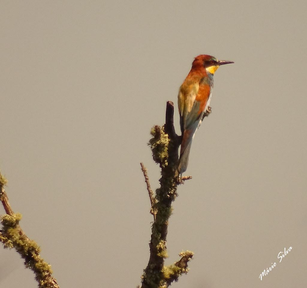 """Águas Frias (Chaves) - ... um abelheruco (Merops apiaster), atento para ver onde pode """"apanhar alimento"""" ..."""