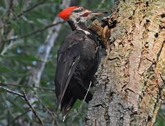 Pileated Woodpecker - Vitale Park - © Terry Bohling - Aug 26, 2019