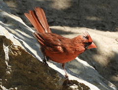Northern Cardinal - Seneca Park - © Eunice Thein - Aug 24, 2019