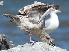 Herring Gull (Juv) - Braddock Bay East Spit - © Rosemary Reilly - Aug 23, 2019