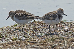 Least Sandpiper - Braddock Bay East Spit - © Rosemary Reilly - Aug 23, 2019