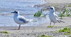 Bonaparte's Gull - Braddock Bay East Spit - © Candace Giles - Aug 23, 2019