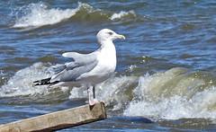 Herring Gull - Braddock Bay East Spit - © Candace Giles - Aug 23, 2019