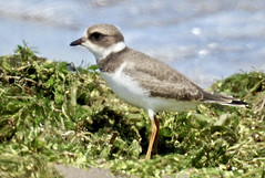 Semipalmated Plover - Braddock Bay East Spit - © Candace Giles - Aug 23, 2019