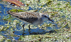 Semipalmated Sandpiper - Braddock Bay East Spit - © Candace Giles - Aug 23, 2019