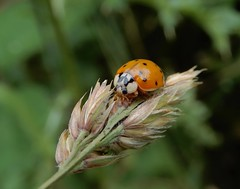 Harmonia axyridis (rockwolf) Tags: france insect beetle ladybird harlequin coccinelle coleoptera coccinellidae 2019 harmoniaaxyridis rockwolf coccinelleasiatique parcduperche